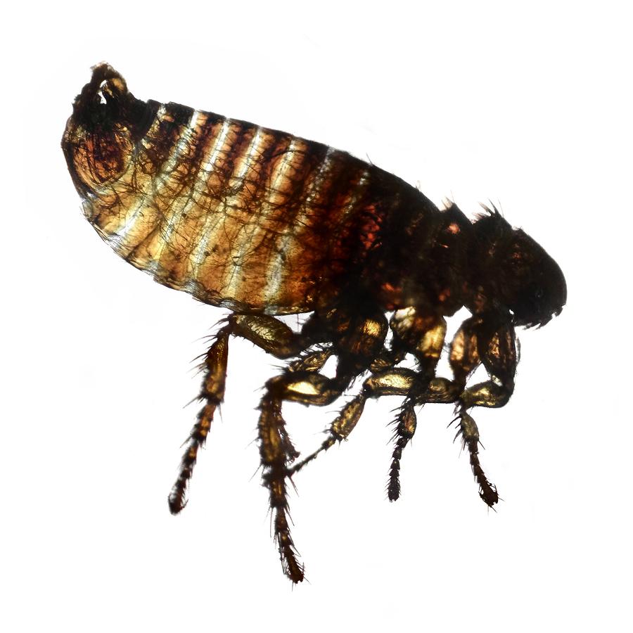 Flöhe sind Parasiten